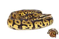 Königspython Leopard Pastel