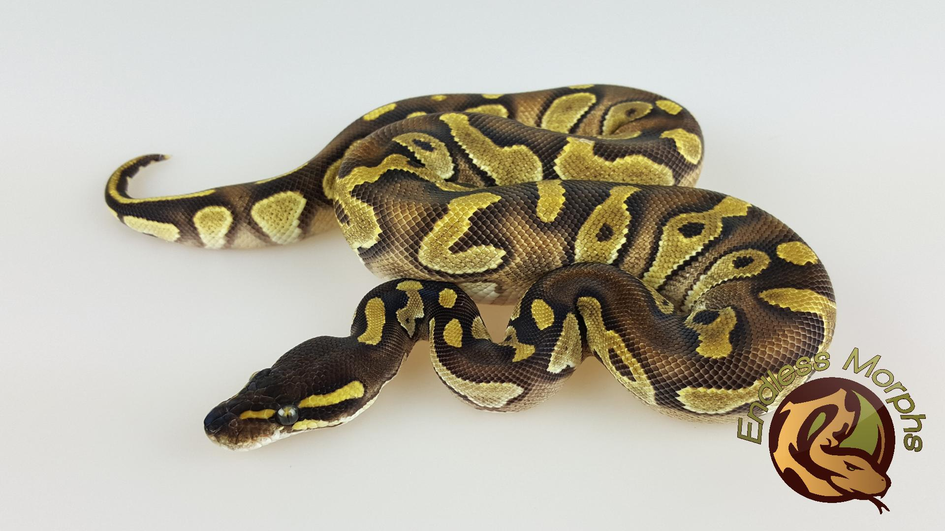 0.1 Black Head Enchi Phantom Königspython