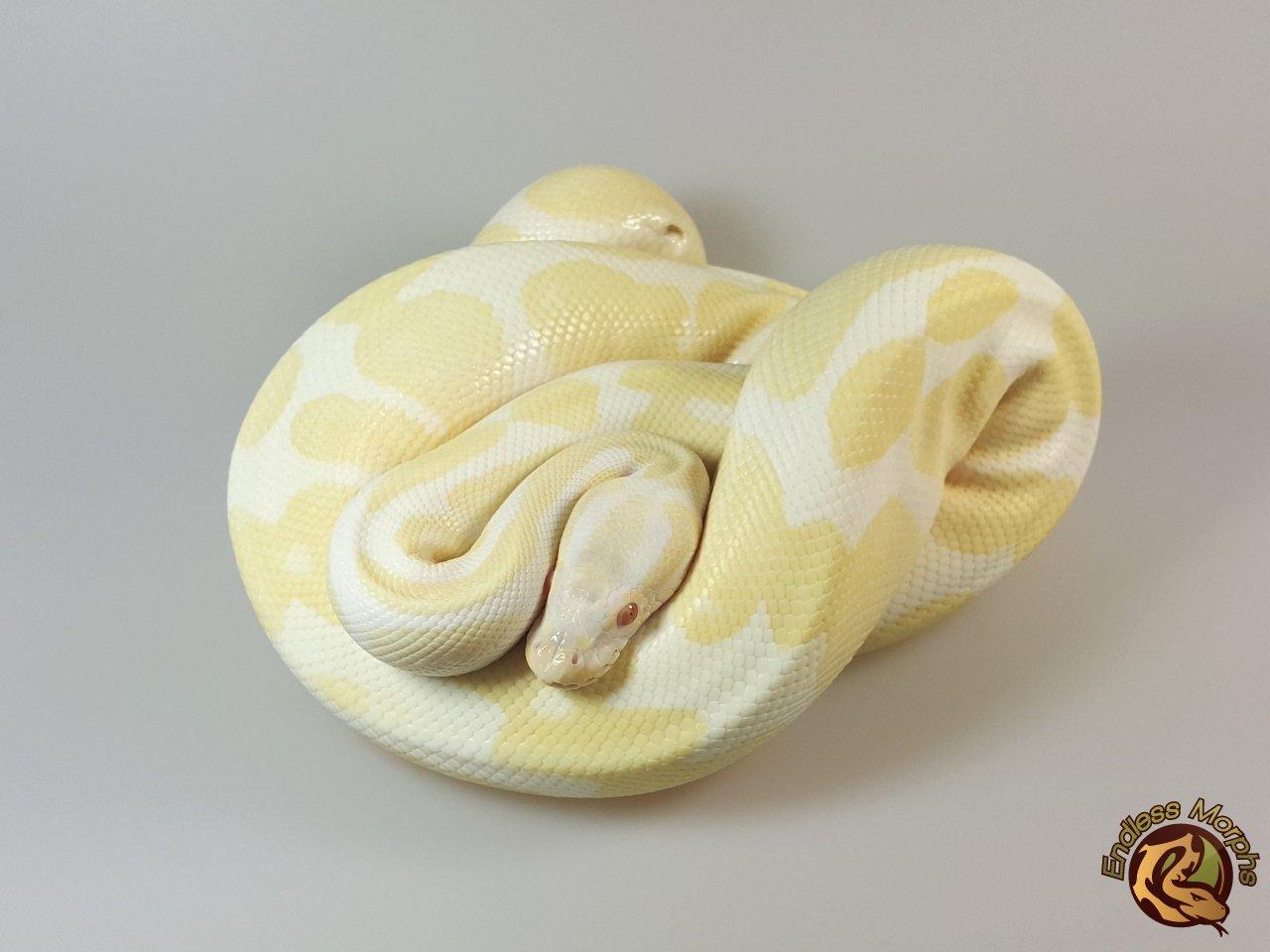 1.0 Albino Het. Axanthic - VPI Line Königspython